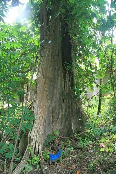 дерево мербау фото